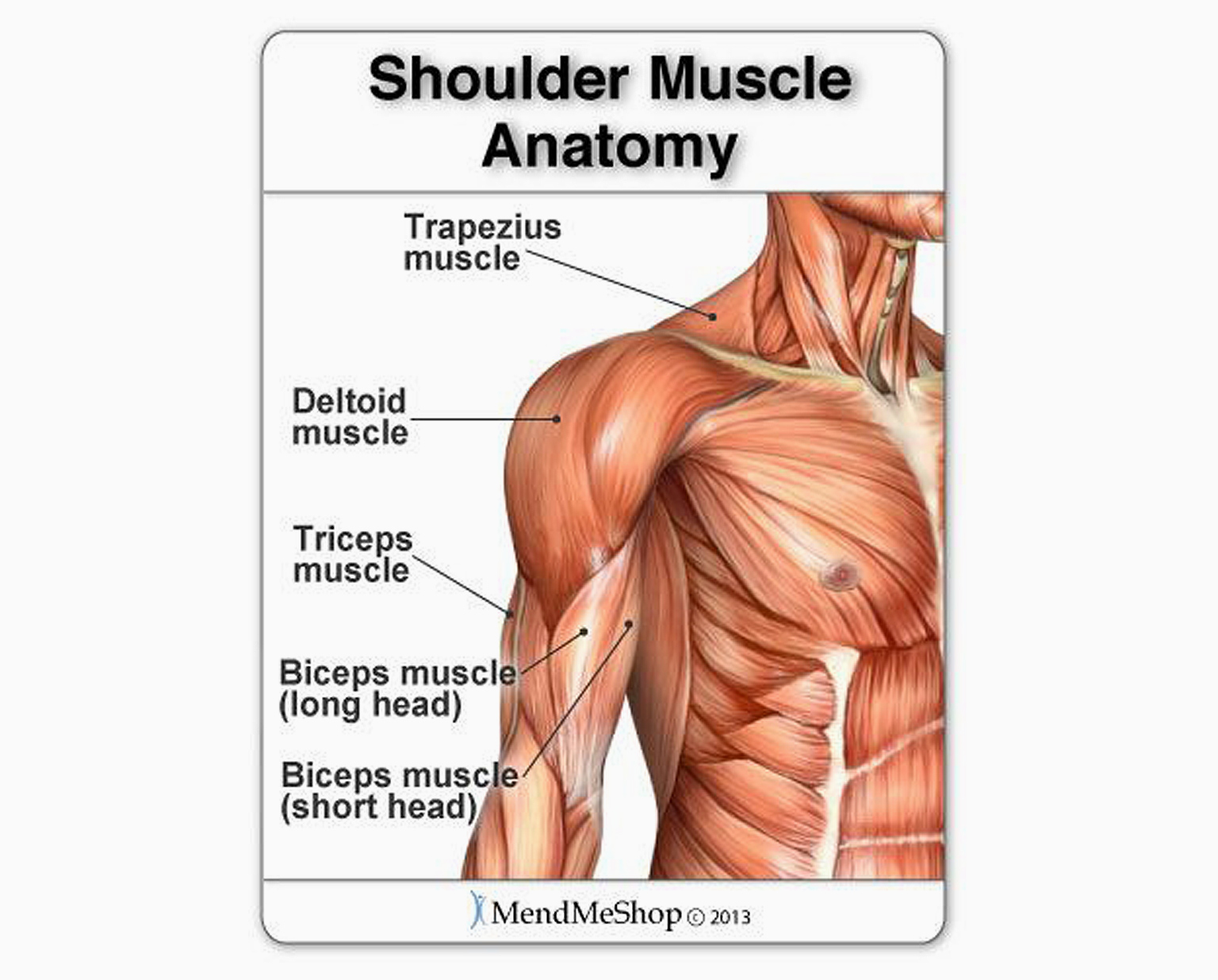 Shoulder muscles wheelchair user.